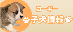 コーギー子犬情報