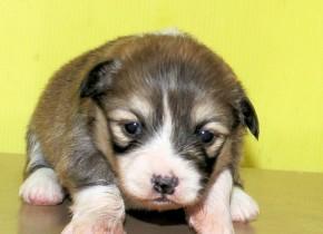 4月28日生まれの 男の子(NO3) フラッフィーです。飼い主さん決まりました。